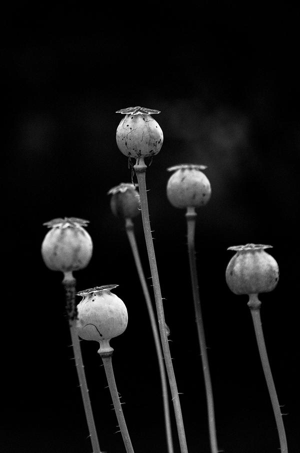 Poppy_heads_img0215