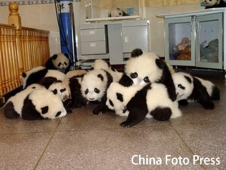 Panda_pile